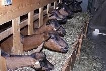 Kozí farmu v Olešence na Havlíčkobrodsku čeká v příštích letech růst. Zatímco nyní tu mléko dává dvacet koz, příští rok jich bude dojit už dvakrát tolik.