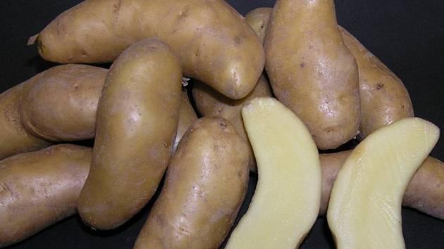 Keřkovské rohlíčky jsou mezi pěstiteli brambor pojmem stejně slavným jako značka Škoda pro automobilisty.