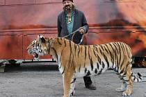 """Principál cirkusu, Jaromír Joo, rád bere čtyřletou tygřici Tajgu na procházku po městě. """"Je to nejlepší reklamní poutač,"""" říká s humorem sobě vlastním."""