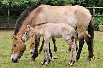 Hříbě koně převalského bylo pokřtěno jako Nepomuk.