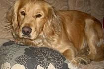 Max si spokojeně hoví na gauči. Možná právě tam tkví výchovná chyba pejsek se cítí jako vůdce smečky.
