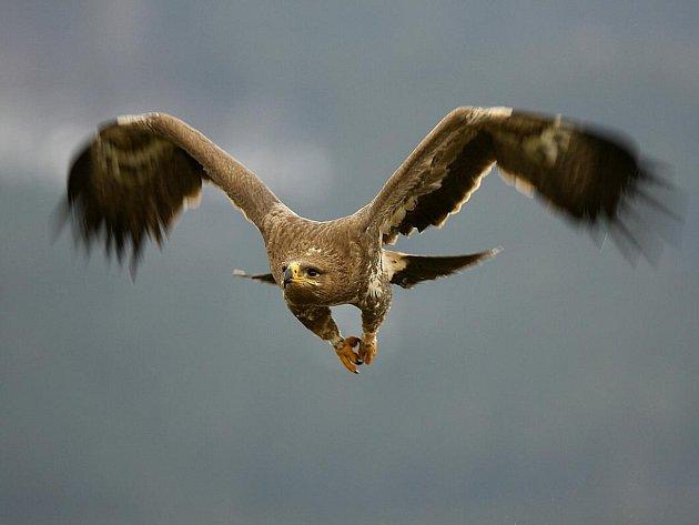 Dvouletý samec orla stepního Charlie ulétl v pondělí 11. října svým chovatelům ze Stanice terénní ochrany přírody v Lipci. V pátek byl odchycen a navrácen domů.