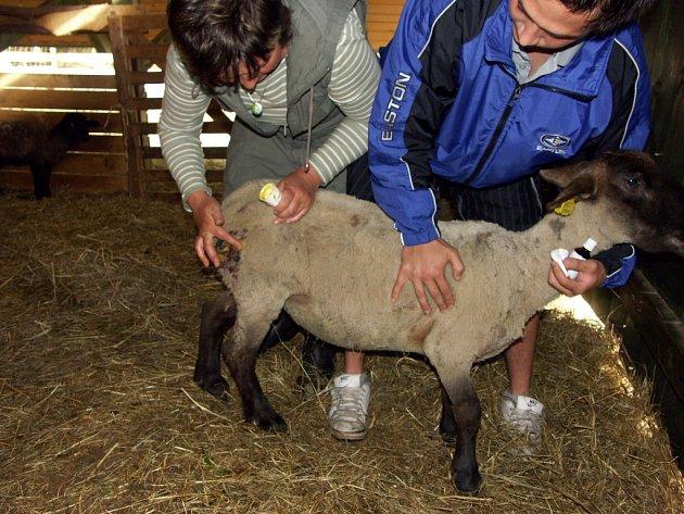 Ovce v Horním Babákově u Hlinska napadli a potrhali rozzuření psi.