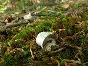Hřib smrkový - Boletus edulis