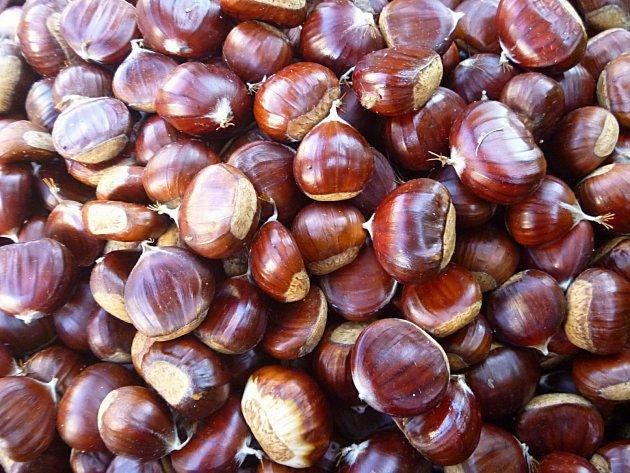 Kaštanovníky vydávají první plody zpravidla po čtyřech či pěti letech.