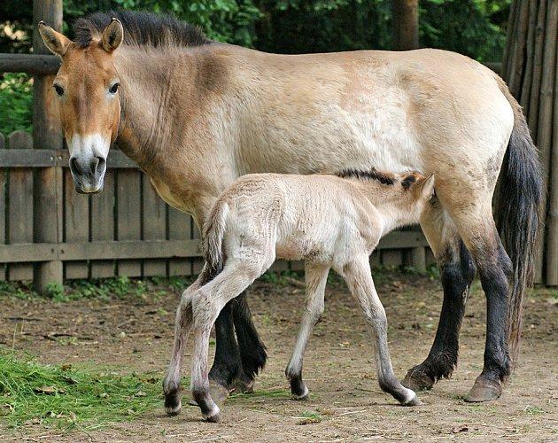 Klisně koně Převalského Xendy narodilo v pořadí již sedmé hříbě.