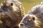 Roztomilé nutrie škodí přírodě i lidem: nekrmte je!