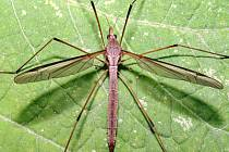 Tiplice (Tipula).