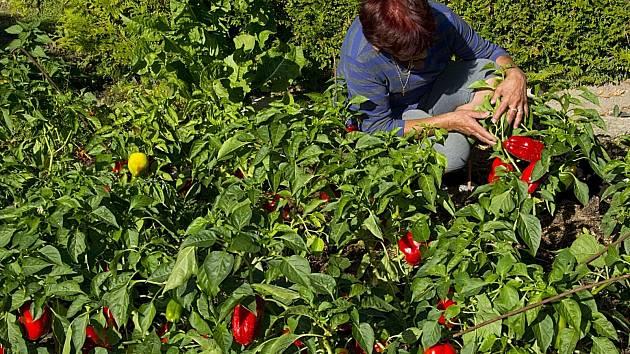 Kilo paprik teď stojí i dvě stovky.