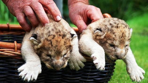 Párek lvů afrických se narodil v soukromé zoologické zahradě Kamila Karely v Kostelci u Heřmanova Městece na Chrudimsku.