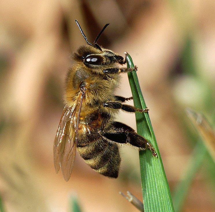 Ven vylétla i včela medonosná. Musí se zvlášť na jaře hodně ohánět, aby dostála svému přízvisku pilná.