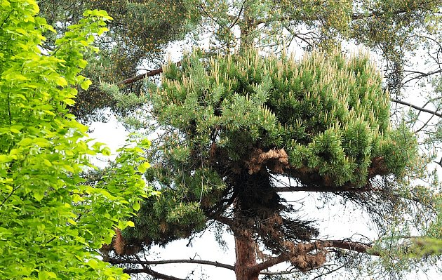 Čarověník vyrůstá z borovice v chrudimské Čáslavské ulici