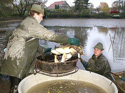 Výlov stolanského rybníku.