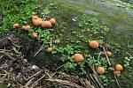 Vlčí mléko červené (lycogala epidendrum) patří k nejedlým houbá
