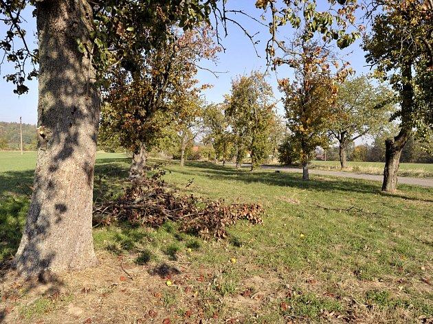 Staré stromy u silnice pod škrovádským seníkem.