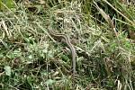 Soutěžní snímek č. 7: Ještěrka v trávě.