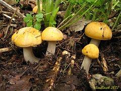 Čirůvka májovka žlutá forma (calocybe gambosa var.flavida) je jedlá.