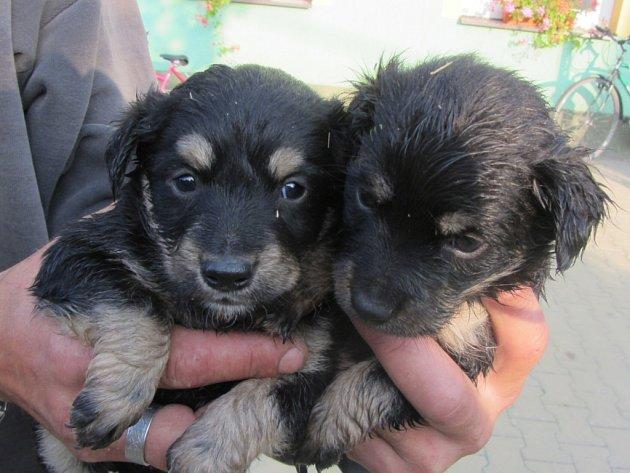 V nákupní tašce pověšené na bráně Záchranné stanice Pasíčka bylo pět štěňat německého ovčáka.
