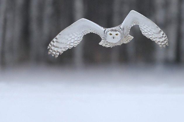 Hedwiga ulétla, bez pomoci zahyne.