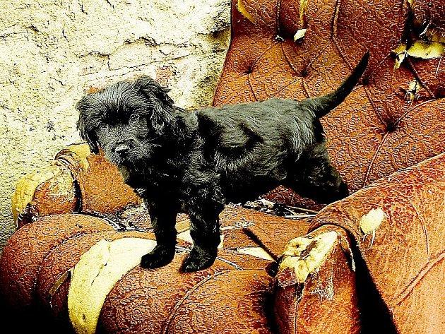 Dvouměsíční štěně kokršpanělky hledá nového páníčka.