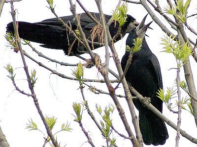 Havran polní (Corvus frugilegus).