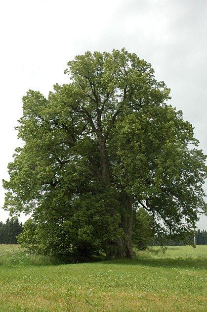 Lípa na Lipce se stala nejkrásnějším stromem okresu.