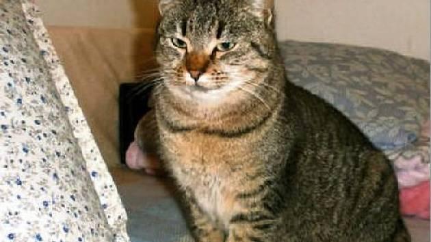 VIOLA je jednou z lovčických koček vhodných k adopci. Je  velice hodná a hodila by se do domku se zahrádkou.
