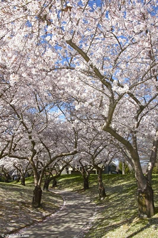 Tokijská třešeň vyroste do úctyhodné výšky.