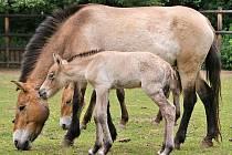 Plemeno koně Převalkského odcestovalo dočasně z areálu slatiňanského zámeckého parku.