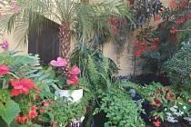 Jarmila Černá o ukradenou bonsaj s láskou pečovala pětadvacet let, stejně jako o ostatní své květiny. Hne se ve zlodějovi svědomí?
