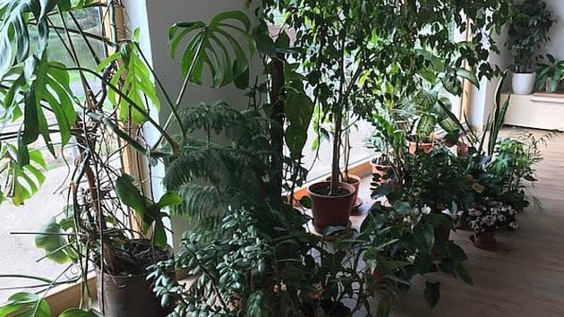 Z některých úřadů a kanceláří lze občas získat například i odnože pokojových rostlin.