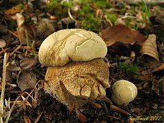 Hřib dubový (boletus reticulatus) patří mezi chuťově výborné jedlé druhy.