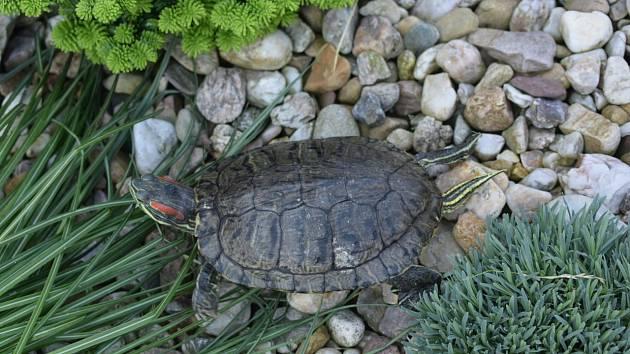 Nalezená želva v Krouně