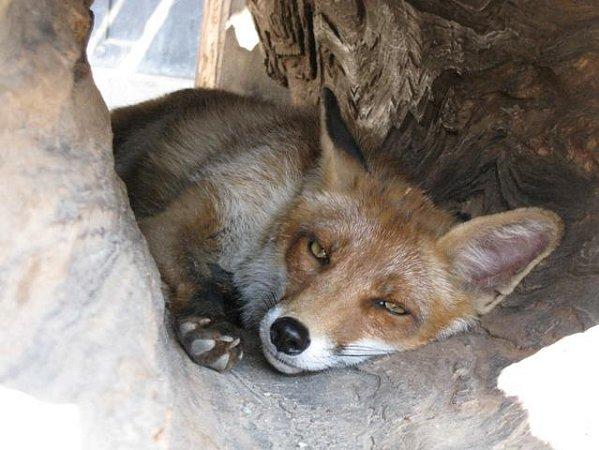 Liška obecná kadopci.