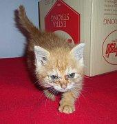 Novými klienty chrudimského útulku jsou i dvě zrzavá koťata.