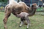 Novopečená matka, samice velbdouda dvrouhrbého Britmy, s mládětem.