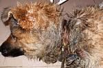 Smyčka (obojek) byla na krku podviživeného zvířete vrostlá do masa.