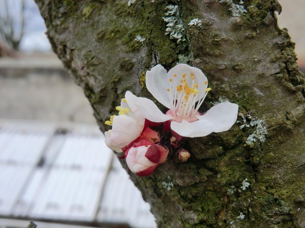 První květy meruňky na zahradě v Honbicích.