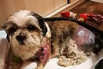 Desetiletý Čiki utrpěl zranění a šok. Odhadovaná doba léčení je minimálně měsíc, pokud se neobjeví komplikace.