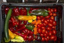 Papriky právě dozrávají, daří se jim i bez skleníku