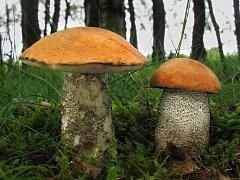 """V lese už se objevují i """"podzimní"""" druhy hub."""