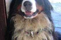Čtyřletý Bernský salašnický pes slyší na jméno Baš.