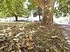Platany se zbavují stromové kůry