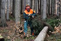 Pokácený lapák je třeba přikrýt větvemi, aby se vytvořilo mikroklima vhodné pro nalákání kůrovce.