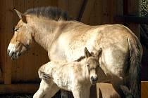 Klisnička koně převalského.