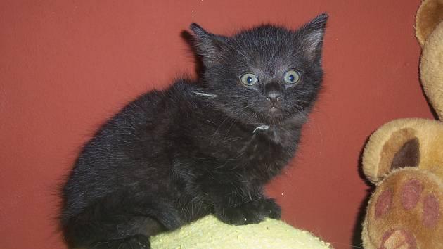 Hop je černý kocourek, odhadovaný věk šest týdnů.
