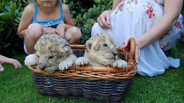Do soukromé zoo Kamila Karely z Kostelce u Heřmanova Městce přibyla lví dvojčátka.