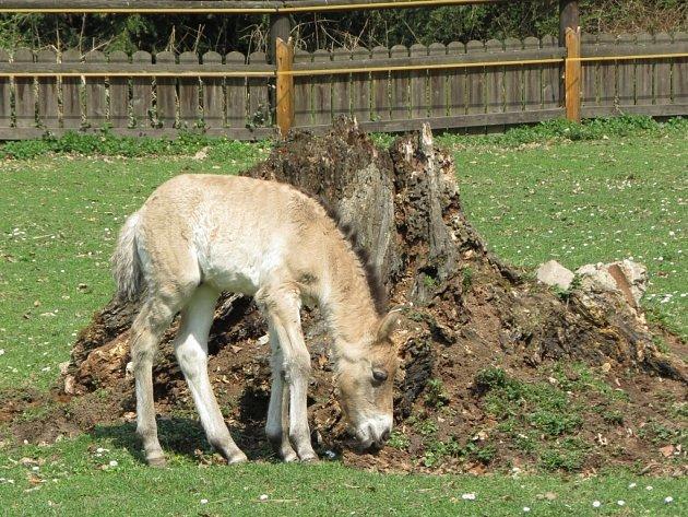 Nově narozené hříbě koně Převalského ve Slatiňanech.