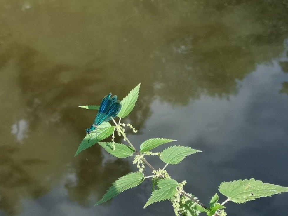 Ptačí ostrovy. Motýlice lesklá.