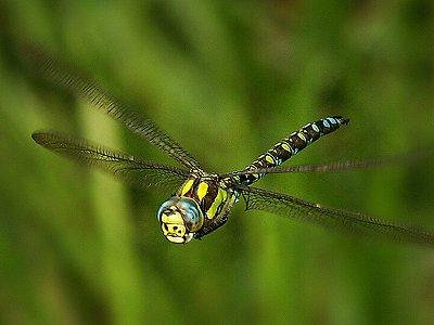 Šídlo modré (Aeshna cyanea).